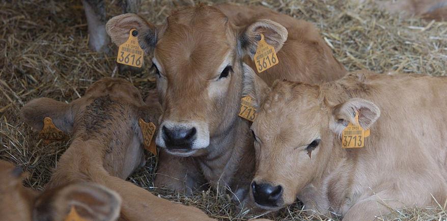 video surveillance bovins
